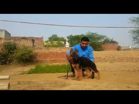 Kci registerd female 09999039993,semi adult, 6 six month old delhi kennel  sale, noida ,gurgaon olx