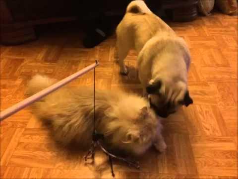 BarneyTheCat und sein Kumpel Tyson - Perser und Mops spielen - Katze nimmt Hund Bett weg