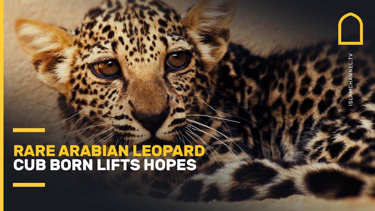 Download Rare Arabian leopard cub born lifts hopes