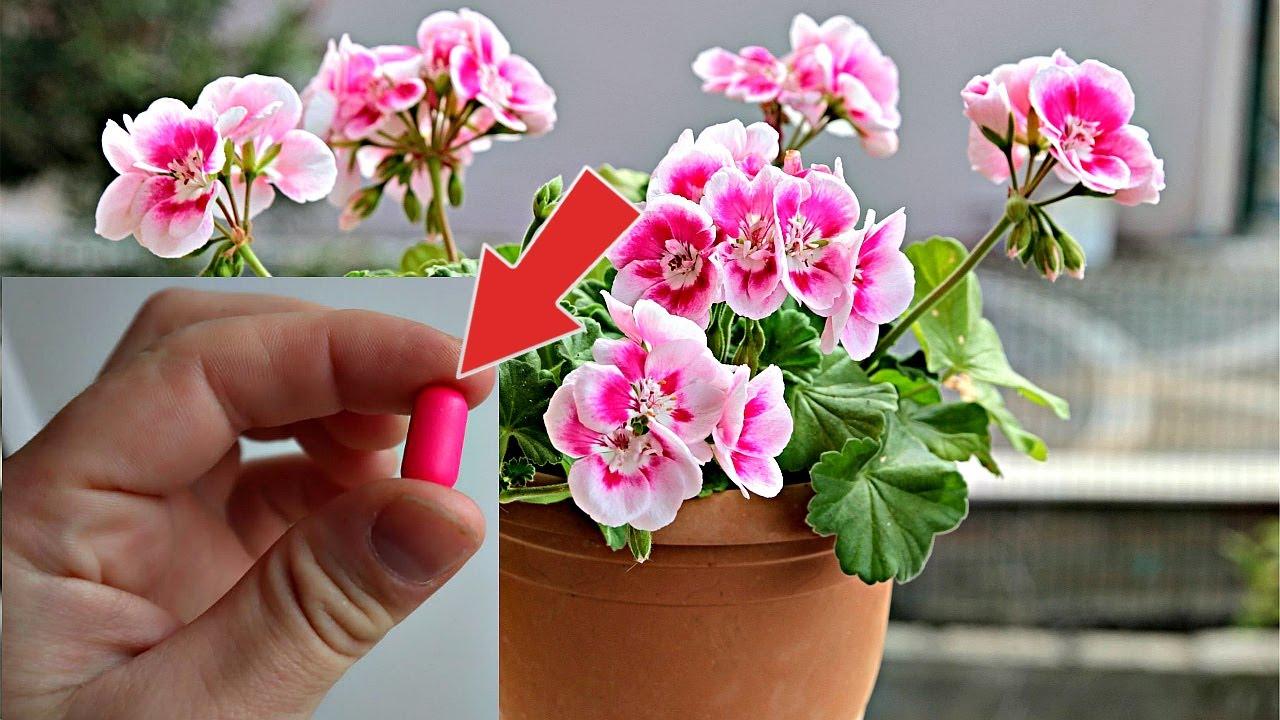 Аптечная таблетка запускает мощнейшее цветение герани!Посоветовала соседка ее герань всегда под этим
