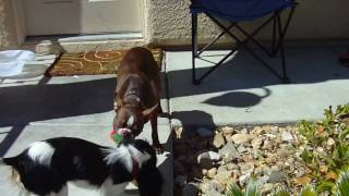 Boston Terrier (reba) And Cavalier King Charles Spaniel (lady) Playing. W/commentary