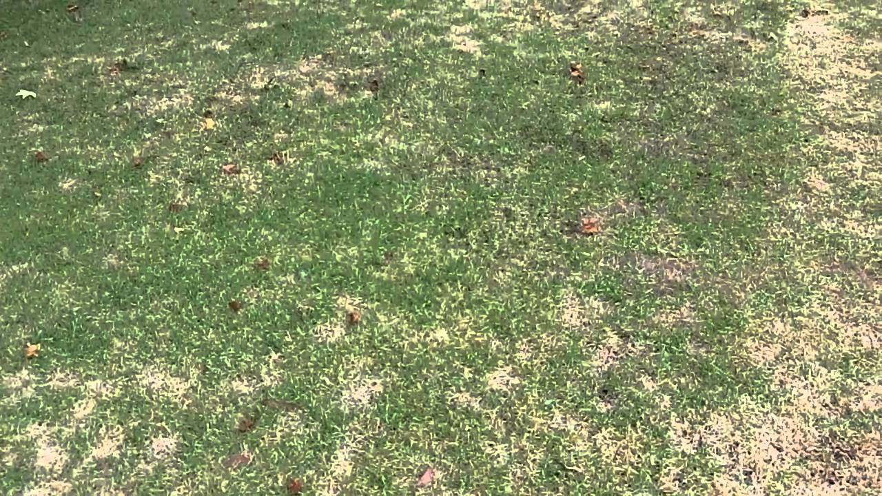 How to Remove White Grubs from Lawns  How to do anything