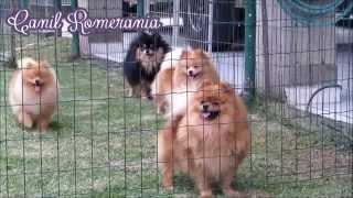 Spitz Alemão - Lulu da Pomerânia - Ursinho - Boo - Filhtoes - Canil Romerânia