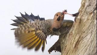 Woodpeckers vs. Starlings vs. Air Rifle