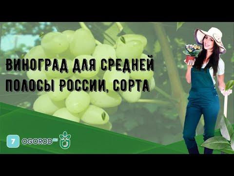 Виноград для средней полосы России, сорта