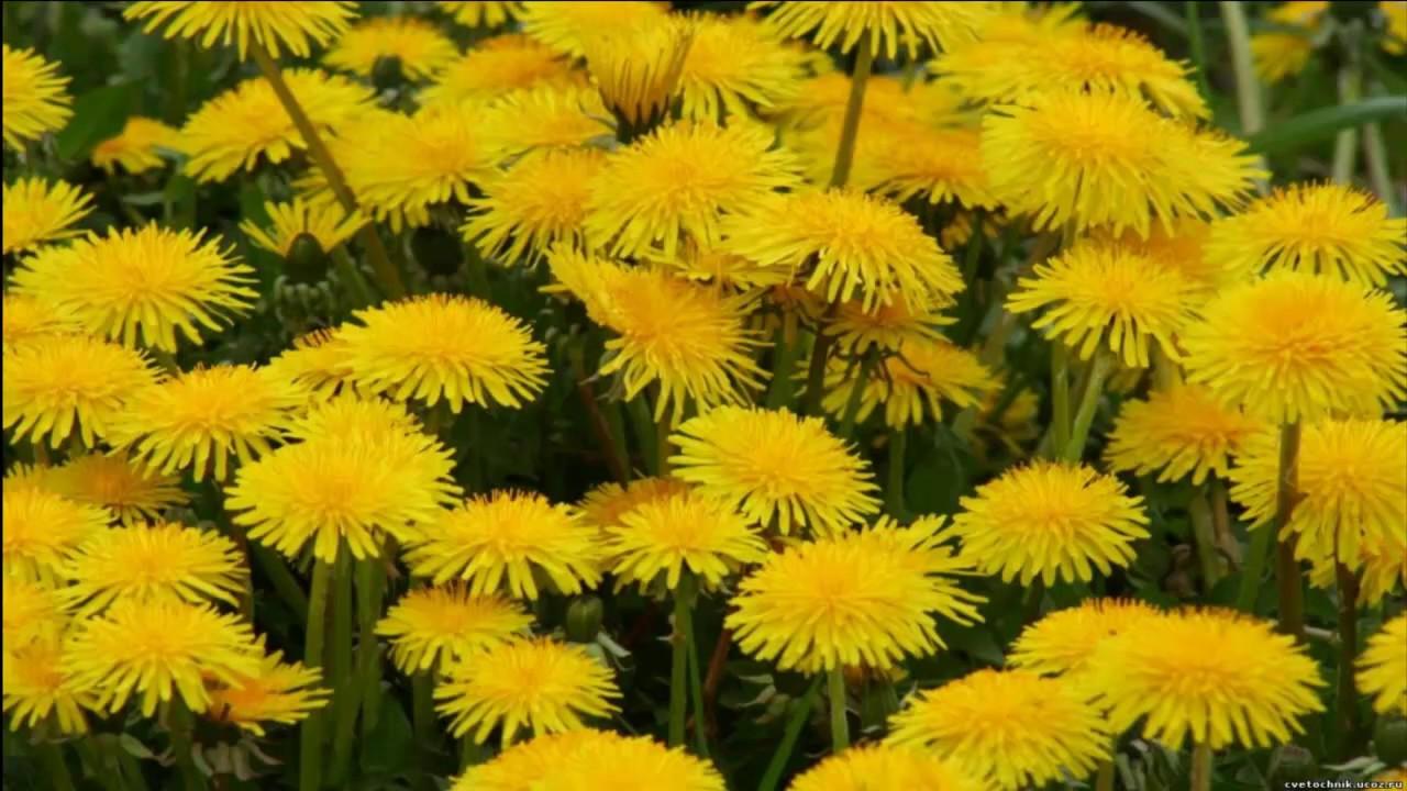 Горе́ц пе́речный, или водяно́й пе́рец (лат. Persicária hydropíper) — вид травянистых растений рода персикария (persicaria) семейства гречишные.