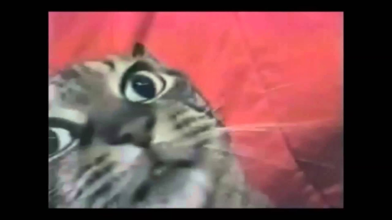 Best Cat Video Ever Youtube