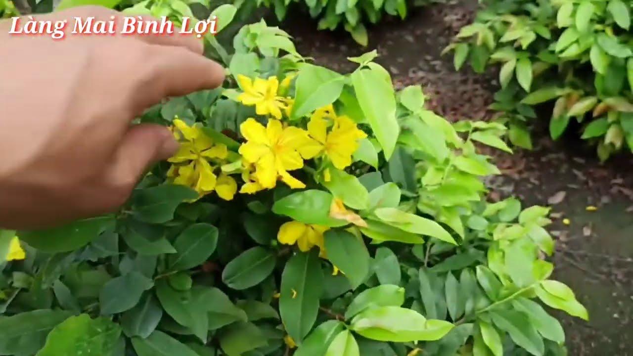 Xem Mặt Bông Vườn Mai Giảo TĐ Chuẩn Bị Giao Lưu | Linh 0982841350.