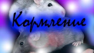 ПИТАНИЕ КРЫС// чем я кормлю своих крыс