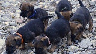 Border Terrier – Welpenausflug