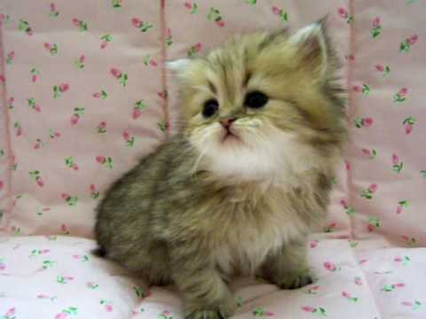 Emma-Shaded Golden Female Persian Kitten for Sale from Daphne's Dolls ...