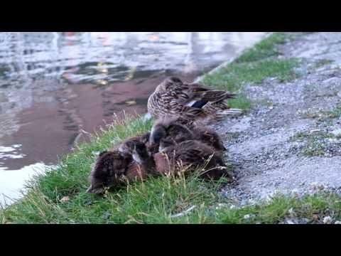 Schlafende Enten am Bodensee