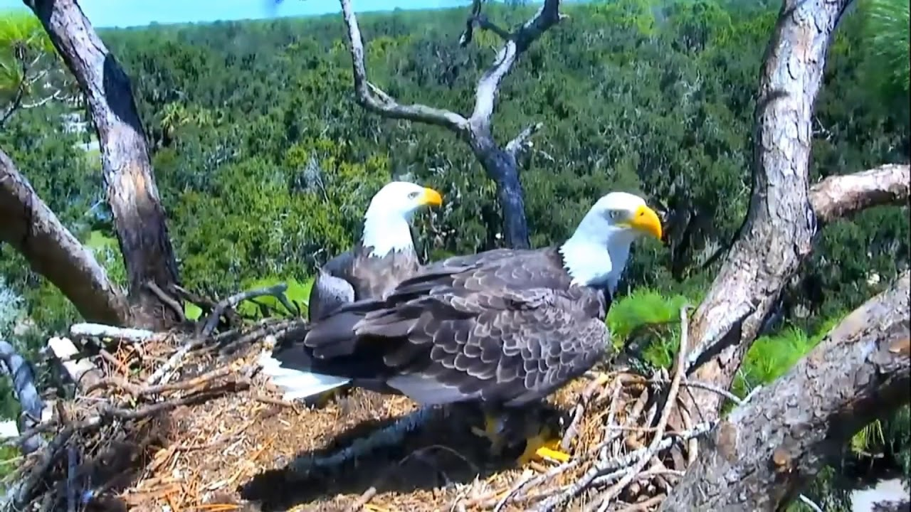 AEF-NEFL Eagle Cam 9-1-18: Home Again! - YouTube