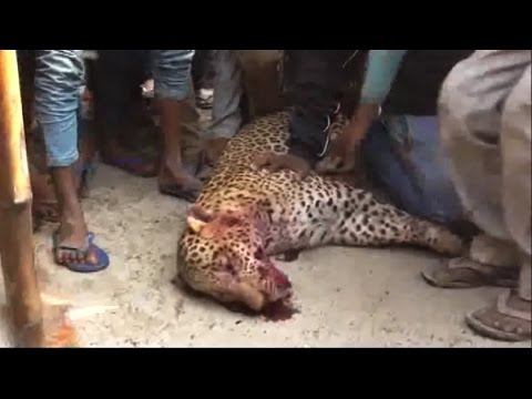 Leopard Beaten To Death Northern India