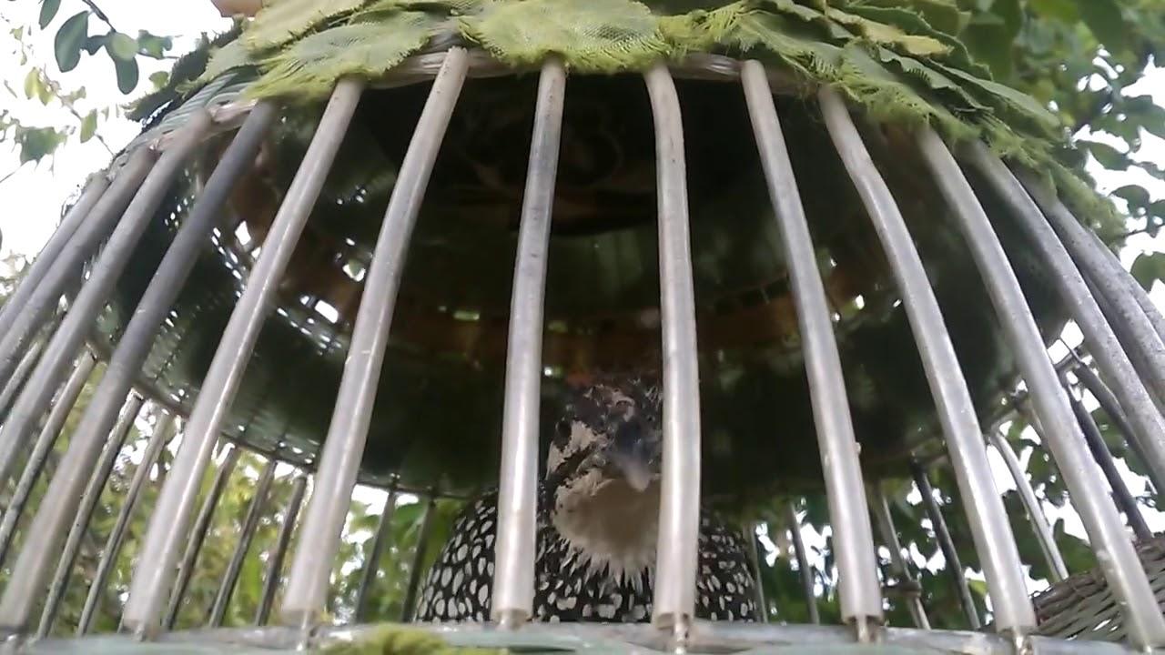 Tiếng chim đa đa Gialai | Gáy kèm tóc cò