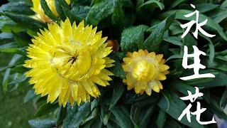 神奇的永生花-麦杆菊/蜡菊 Strawflower/ Golden Everlasting