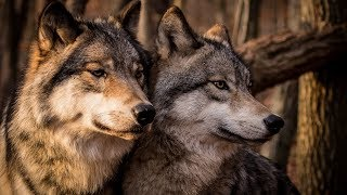 Среднерусский лесной волк САМЫЙ КРУПНЫЙ ВОЛК мифы и реальность