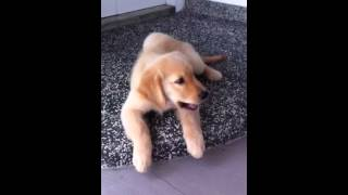 10 Week Old Golden Retriever Puppy Doing Tricks