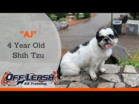 AJ | 4 Year Old Shih Tzu | 2 Week Board & Train Program | OffLeashGeorgia.com