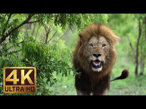 4K African Wildlife | African Nature Showreel 2017 by Robert Hofmeyr