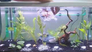 Akvaryum Kuruyoruz Lepistes Çöpçü Neon Köpek Balığı Çeşitleri