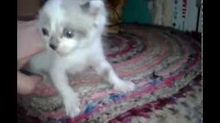 Как кормить котенка молоком. Кормление котенка детским питанием  Nestle Nestogen 1
