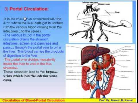 12 Blood Circulations 3 Portal Circulation Anatomy Intro Dr Ahmed