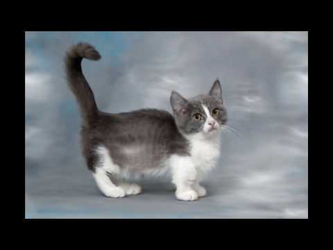 Munchkin Cat and Kittens | History of the Munchkin Cat Breed