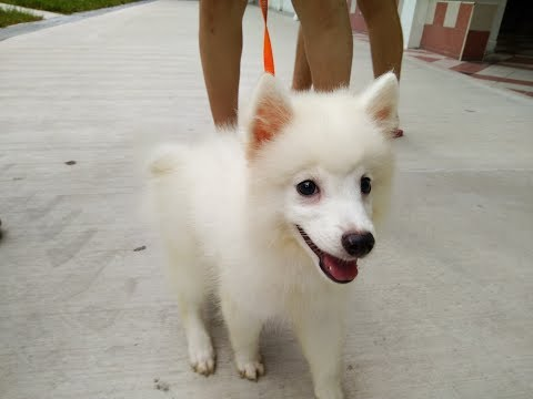 Dogs Training In Singapore 3 months CoCo Japanese Spitz