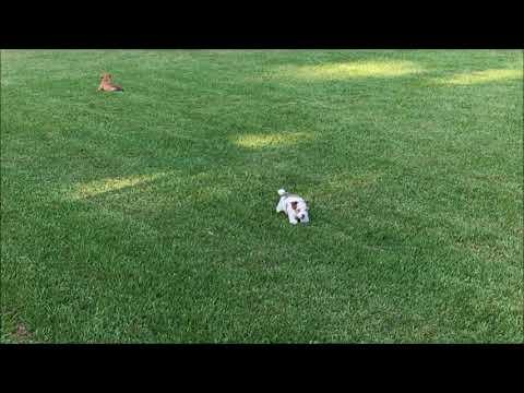 Havanese Puppy For Sale running