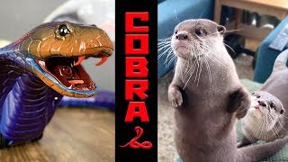 Otter Kotaro&Hana Remote Control Snake Naja Cobra Toy
