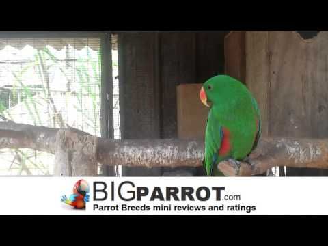 Eclectus parrot – How to Choose a big parrot?