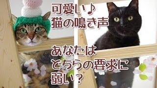 可愛い猫の鳴き声対決!どちらも無視できません(Cute cat Voice)