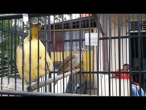 Burung kapas tembak gacor....suara keras nembak