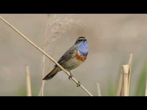 bluethroat singing.avi