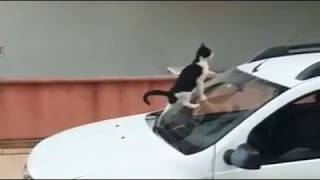 Cat Shits on Car / Кот Срет на Машину