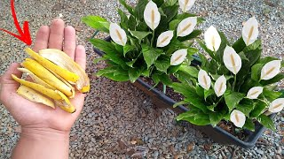 Faça seu Lírio da Paz Florir com um Adubo Natural e Que Todos Temos em Casa (Comprovado)