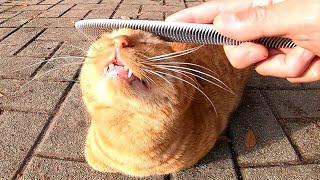 ねこじゃすりで撫でられる野良猫の表情に癒やされる。 thumbnail