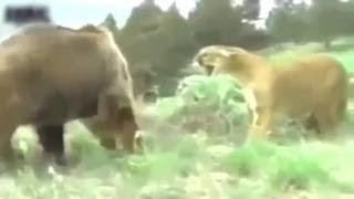 最も驚くべき野生動物の攻撃、ライオン対クマの死に対する実戦. 【動物...