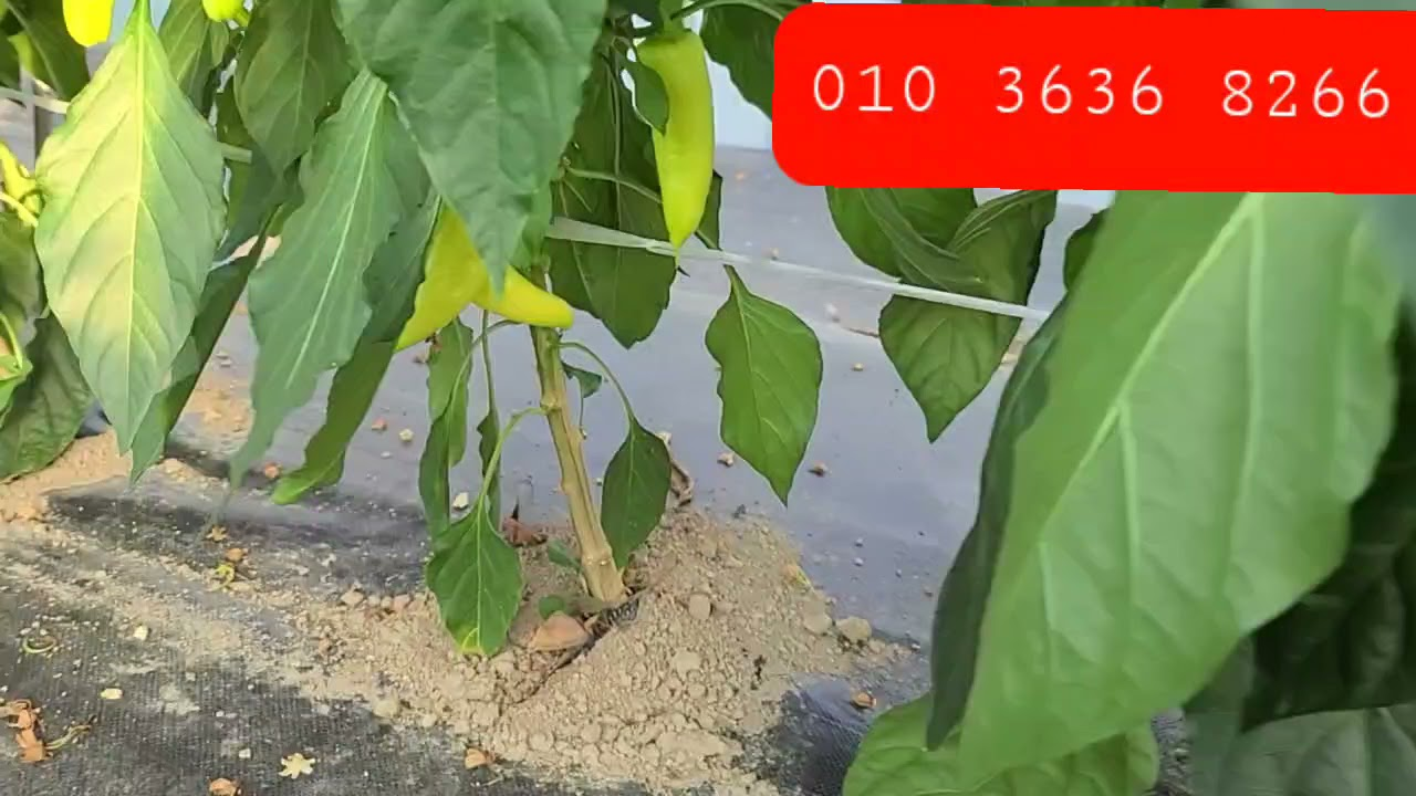 특별한 농법으로 기른 당조고추 1킬로 1만원 당뇨고추 미인고추 세계 최초 기능성 당조절 고추