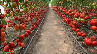 How to Grow Tomatoes in Israel - Amazing Israel Agriculture Technology