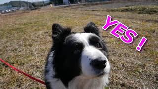 今日は我が家の癒し系愛犬ハリーくんのロングリードで少し走る姿、11歳...