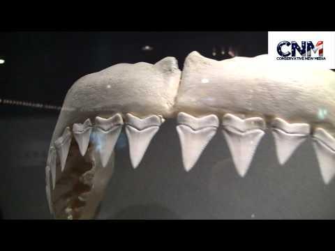 "Megladon ""Monster Shark"" Tooth vs. Great White Shark Teeth - in 1080P HD !!"