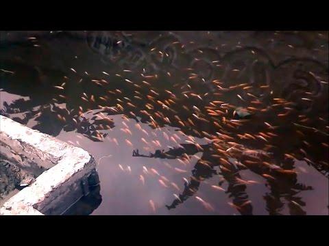 Breeding Koi Or Goldfish (Step By Step) - Part 1