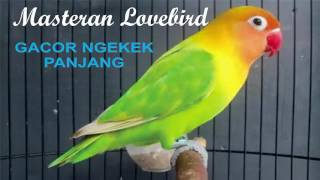 suara masteran lovebird gacor panjang mp3