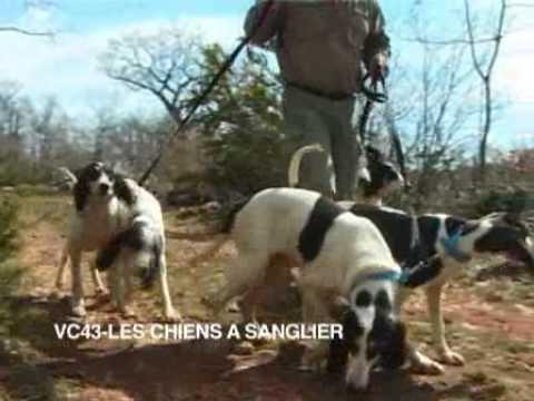 Techniques de dressage des chiens aux sangliers - YouTube