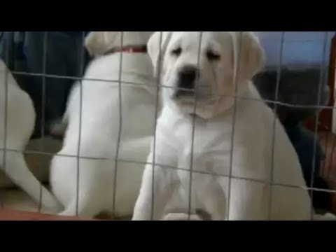 Pet Shops Labrador In Guwahati Cheap Labrador German