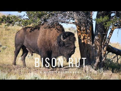 """""""A Yellowstone Minute - Bison Rut"""""""