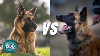 German Shepherd VS Belgian Malinois