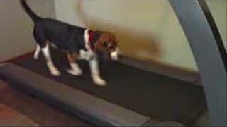 Treadmill Training Canines - Dogs Running On The Treadmill